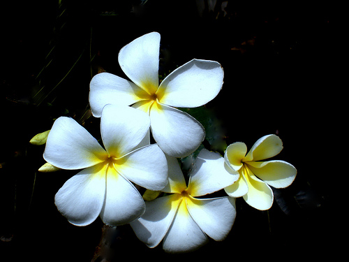 Plumeria Alba / White Frangipani / West Indian Jasmine / Fam Apocynaceae