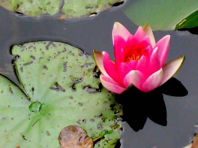 monet lotus